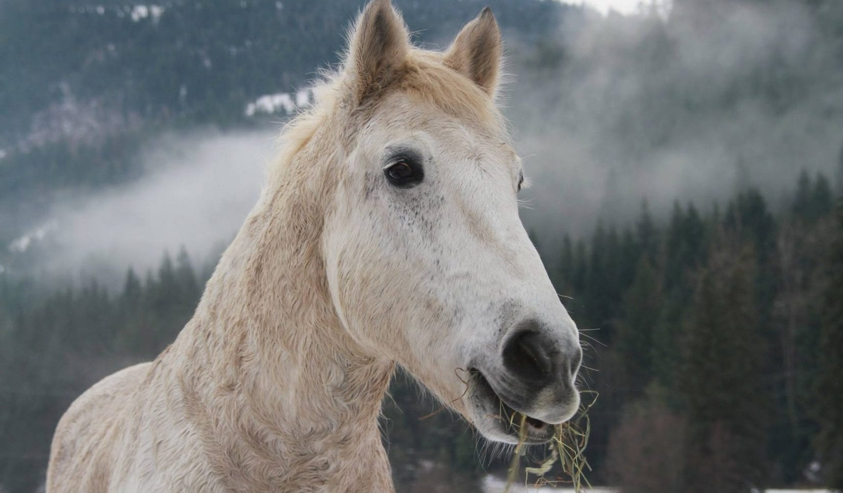 home for the holidays draft horse rescued from wildfires