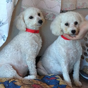 Miniature Poodles Seized By Bc Spca Now Ready For Adoption