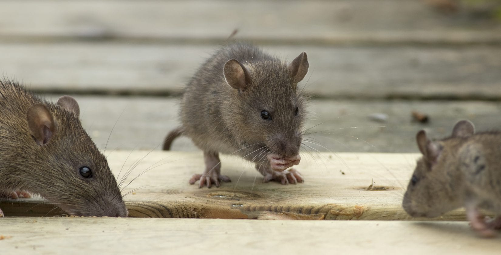 Rodent control prevents disease