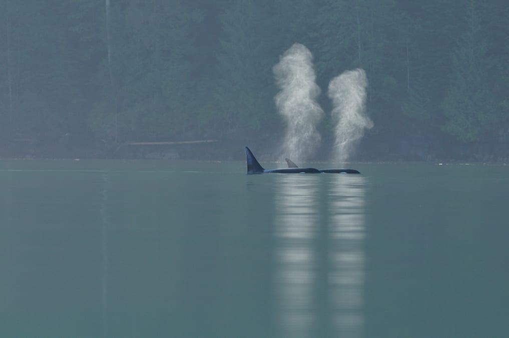 Wild orca swimming in ocean above water breathing