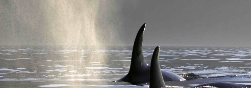 Wild orcas with dorsal fins out of water swimming on foggy day