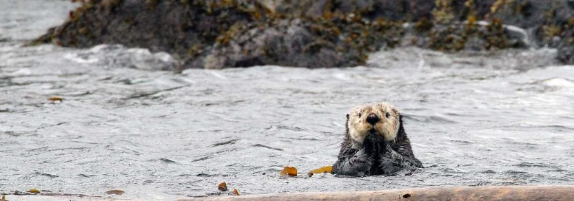 Wild otter swimming in the ocean near rocks with paws up to mouth