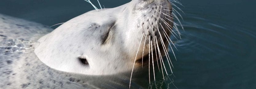 Wild pacific harbour seal swimming with head out of water smiling