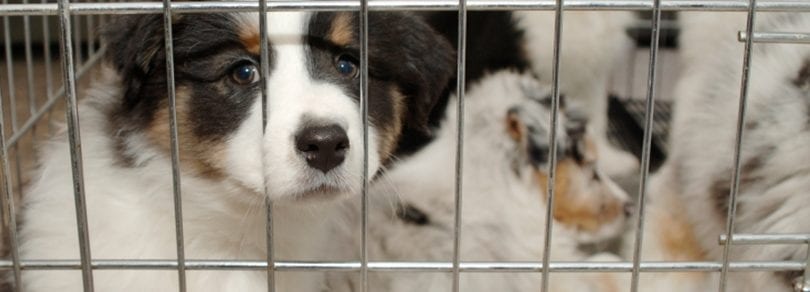 puppy in pet store cage