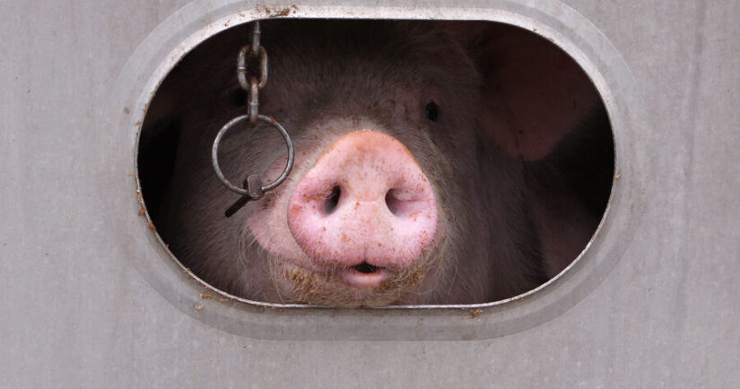 Pig looking out from inside a transport truck