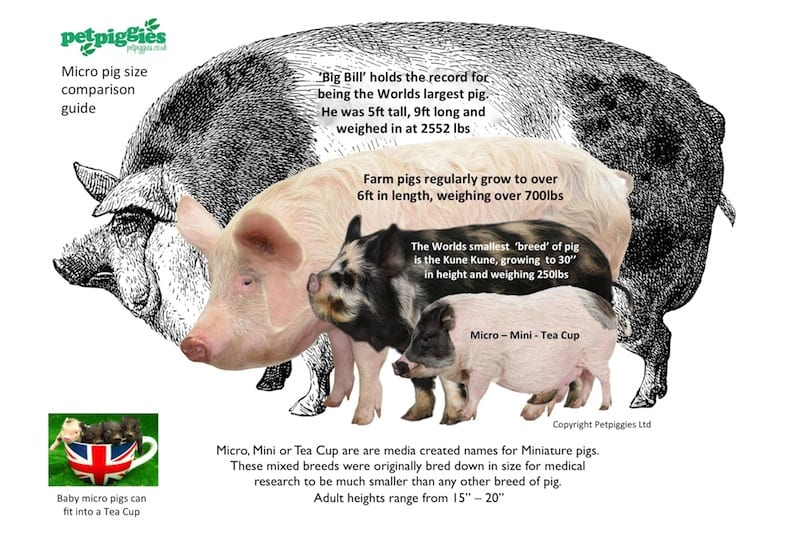 12 Things To Know Before Adopting A Mini Pig Bc Spca