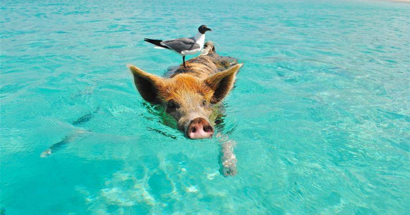 Pig swimming in ocean