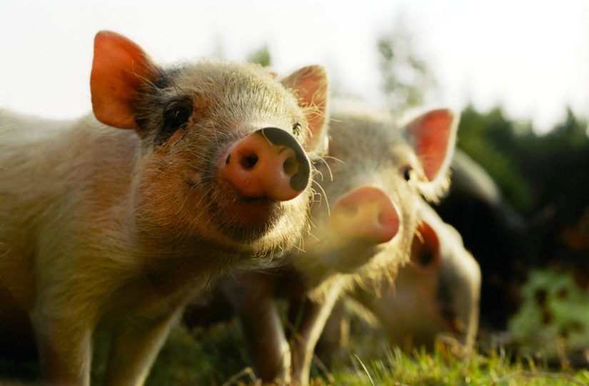 12 Things to know before adopting a mini pig | BC SPCA