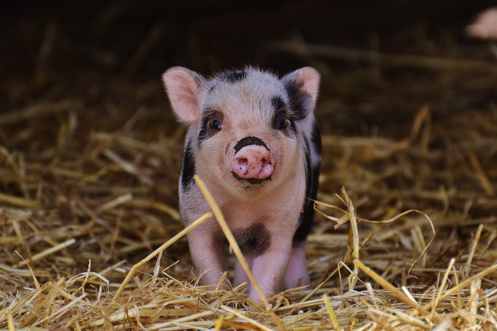 Black Miniature Pig