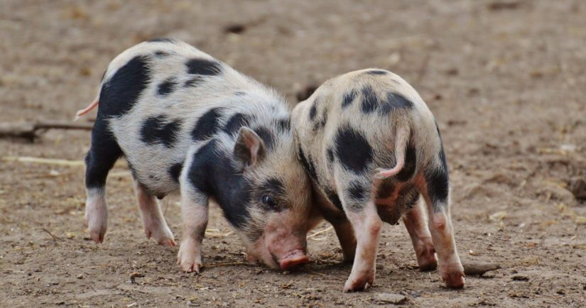 Two piglets playing on farm