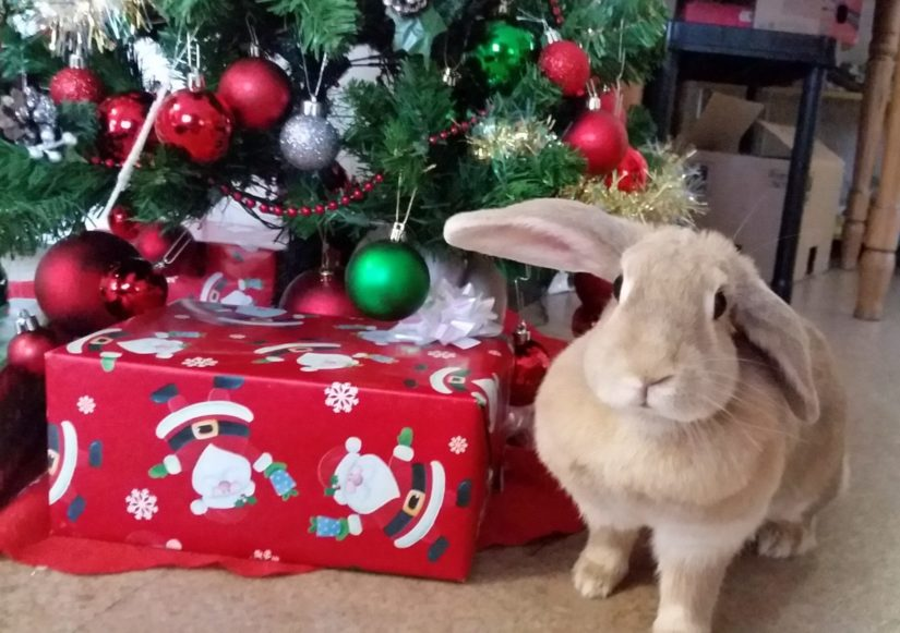Rabbit sitting by the Christmas Tree BC SPCA