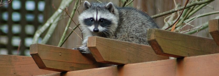 Baby raccoon on garden roof