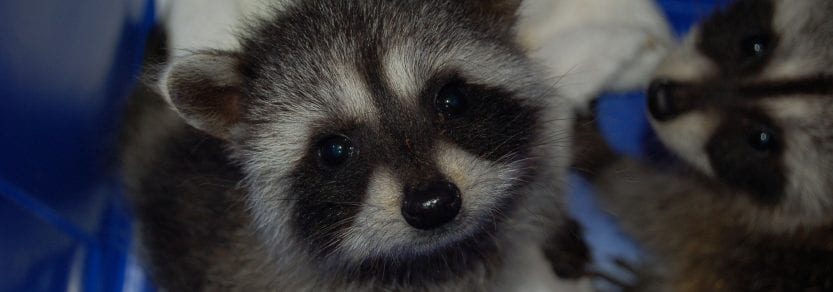 Racoon Baby Looking at Camera