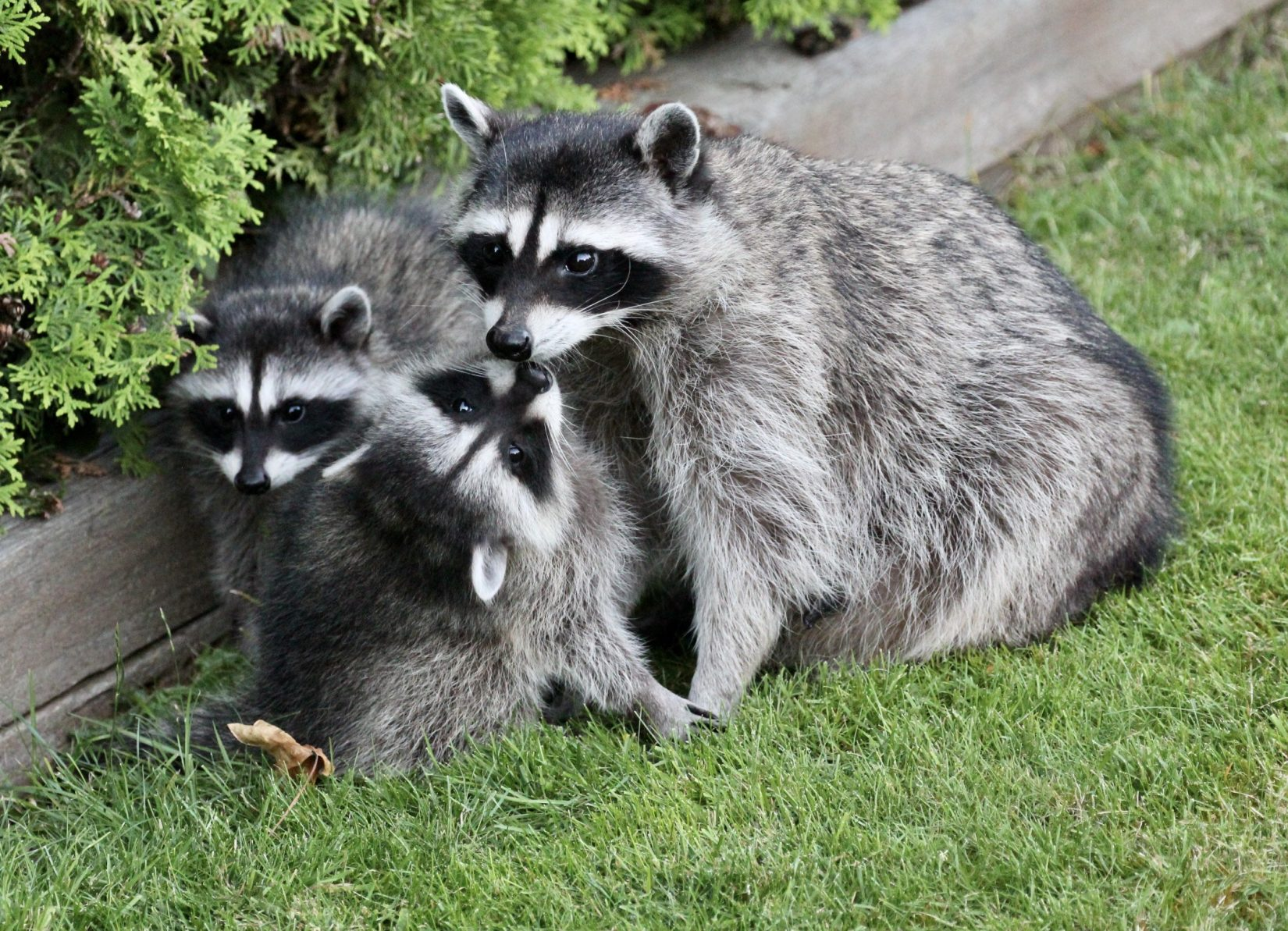 Raccoon mom with two young kits in grass