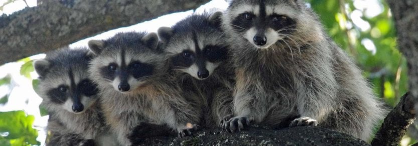 Wild group of four raccoons hanging out on a tree branch