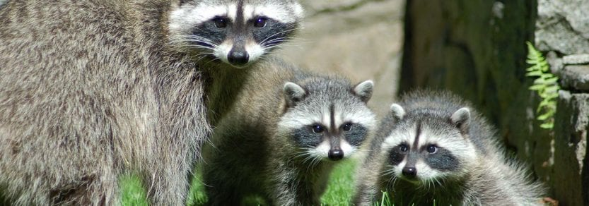 Wild raccoon family with parent and and two kits on grass in backyard