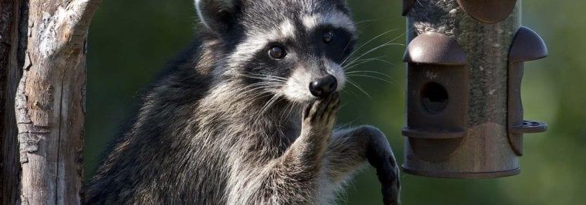 Cute wild raccoon sitting against tree trunk eating seeds