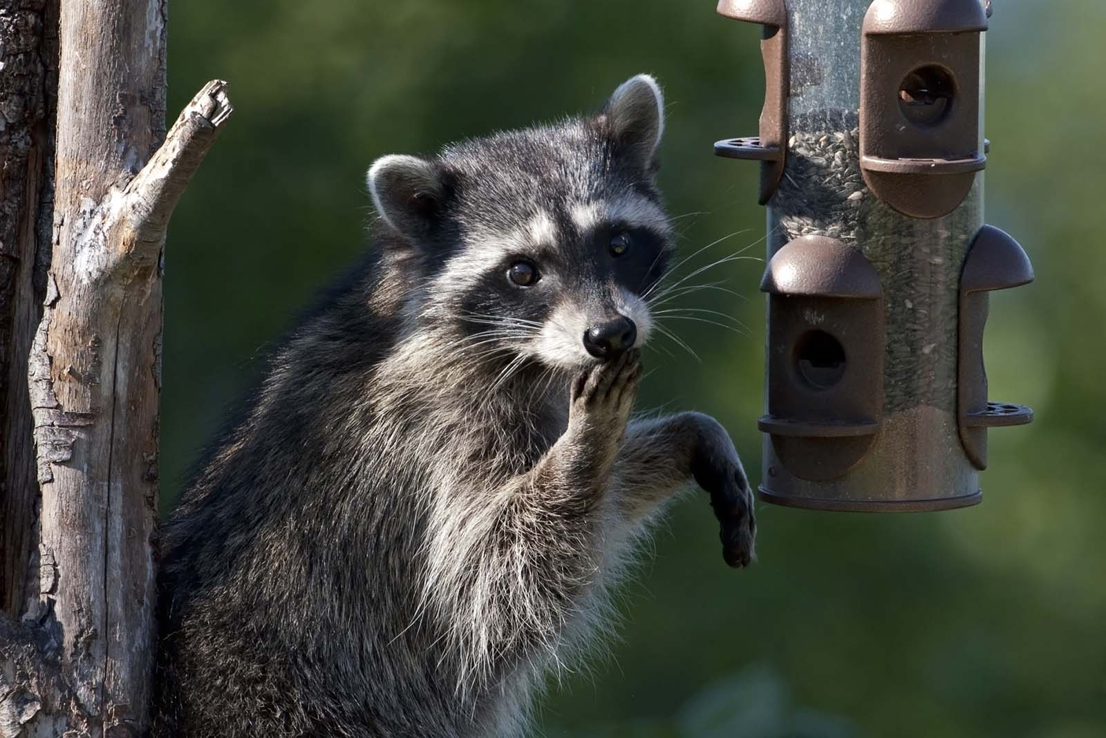 raccoon in wild cute eating sitting against tree credit Martin Smart - How To Get Rid Of Raccoons Pooping On Your Deck