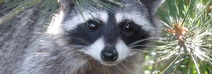 Close up eye contact shot of a wild raccoon up in a tree