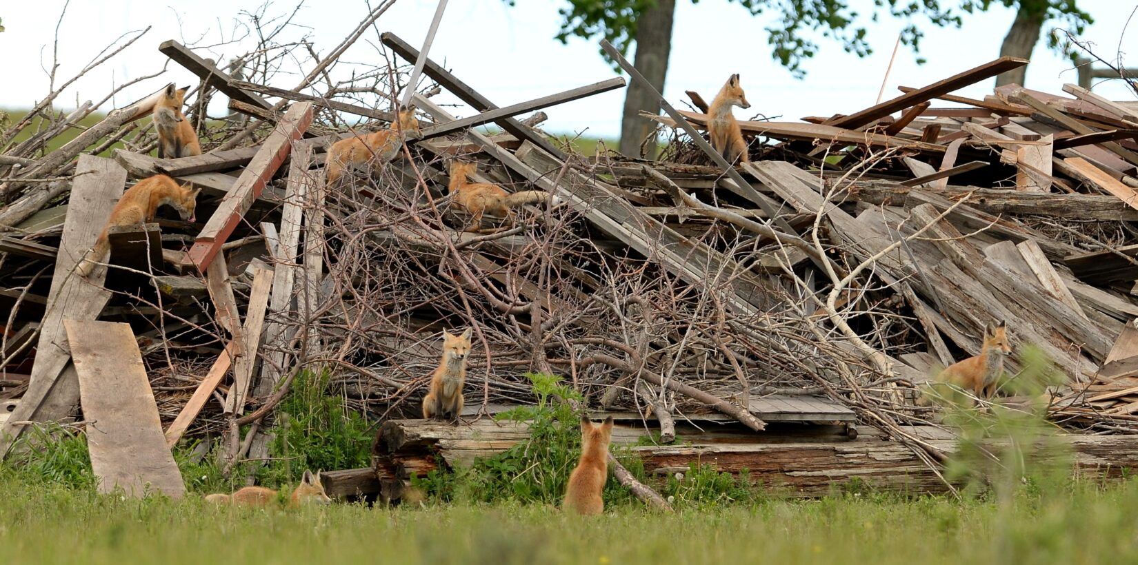 Red foxes in wood pile