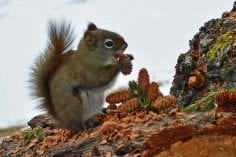 Wild red squirrel eating mini pinecone on log