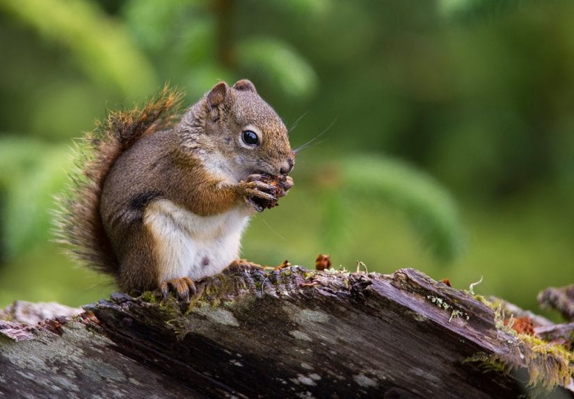Red squirrel chewing pinecone on branch