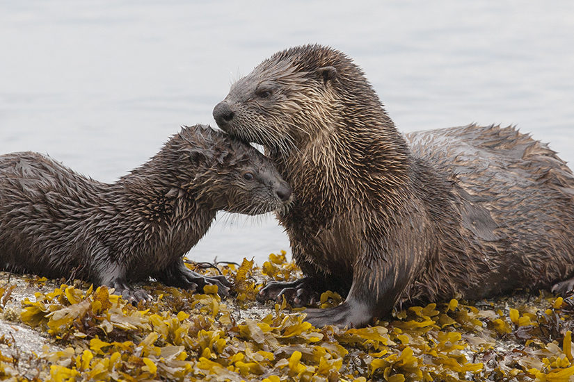 River otters nuzzling