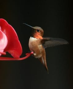 rufous hummingbird sitting on feeder