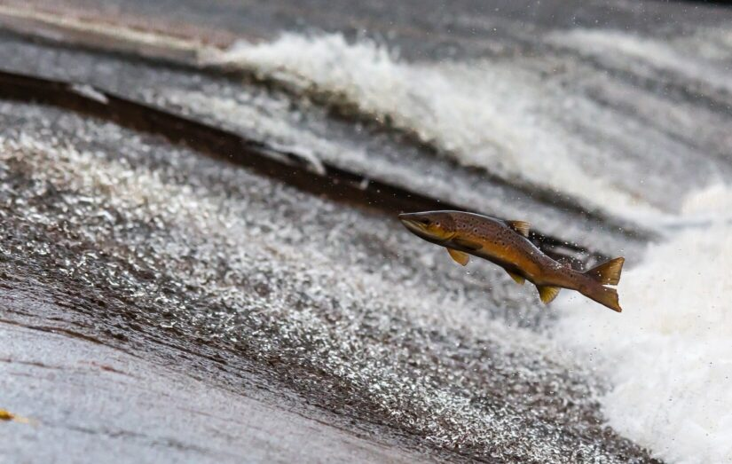 Salmon fish jumping out of water in flowing river