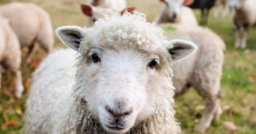 Close-up of a sheep on pasture with others in the background