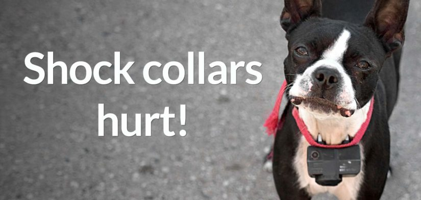 Sad Boston terrier wearing shock collar