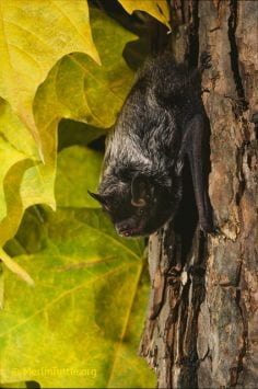 Blind As A Bat Top Five Bat Myths Busted Bc Spca