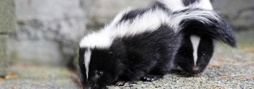 two young cute wild baby skunks walking on pavement