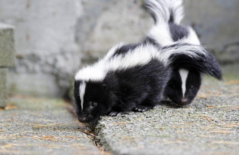 Two skunks on stone blocks