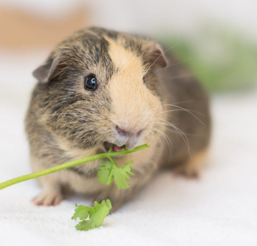 Brown and tan coloured guinea pig eating