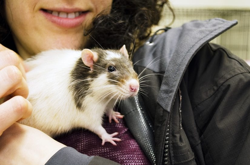 Rat being held and pet by girl