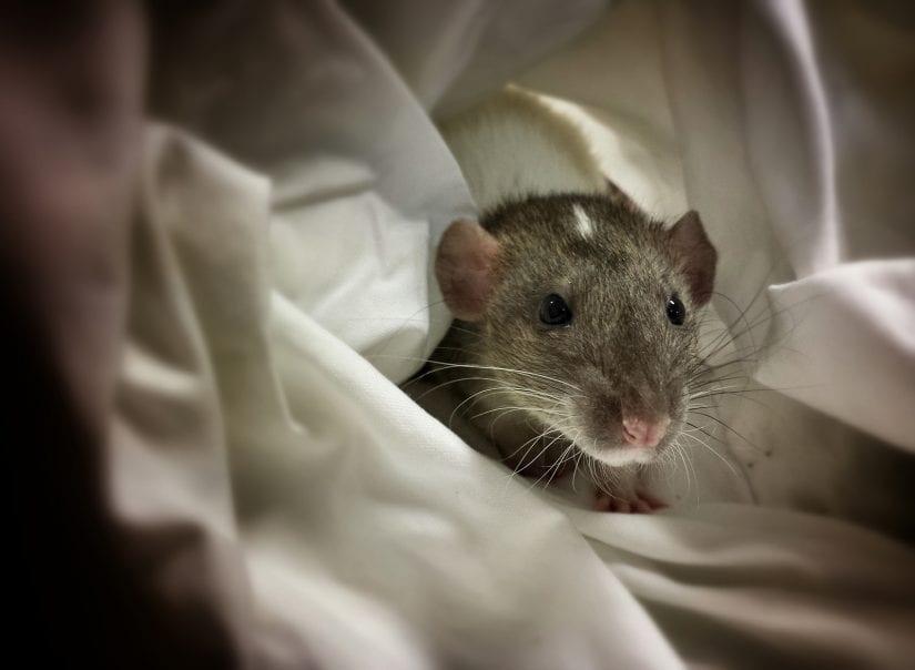 Rat nesting in blankets