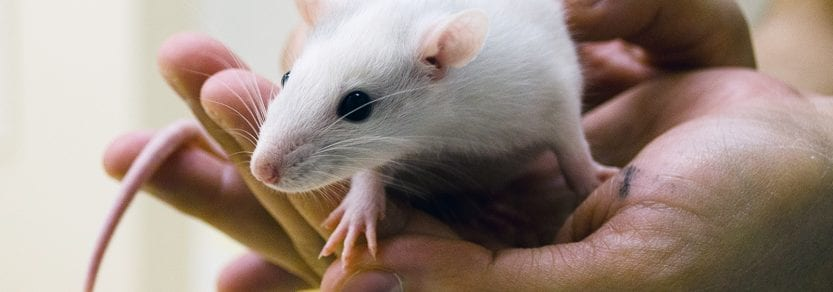 Small white rat sitting in hands
