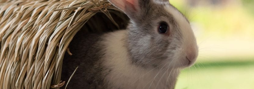 Cute small rabbit half out of a tunnel