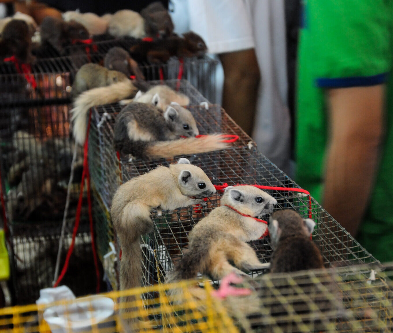 Small mammals tied to strings at a market