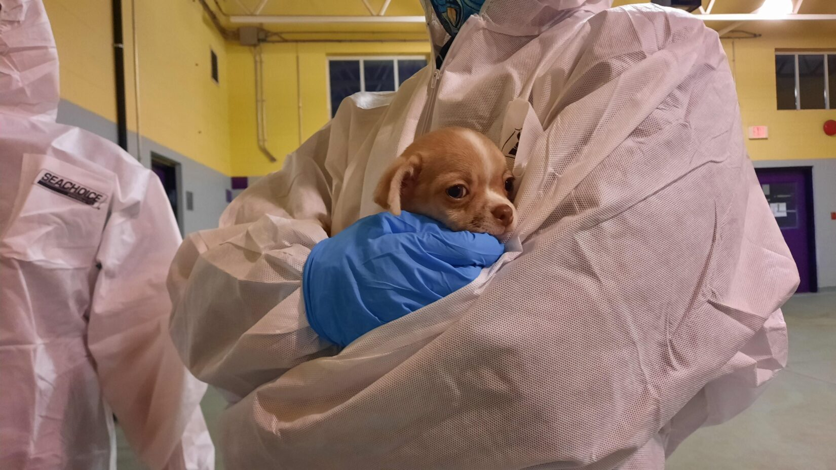 small puppy neing held by staff in tyvek suit ppe