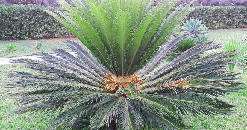 Chicas Palm green leaves tropical background. Arecaceae family Cycas revoluta, King sago palm. Close up of female Sago palm flower with seeds.