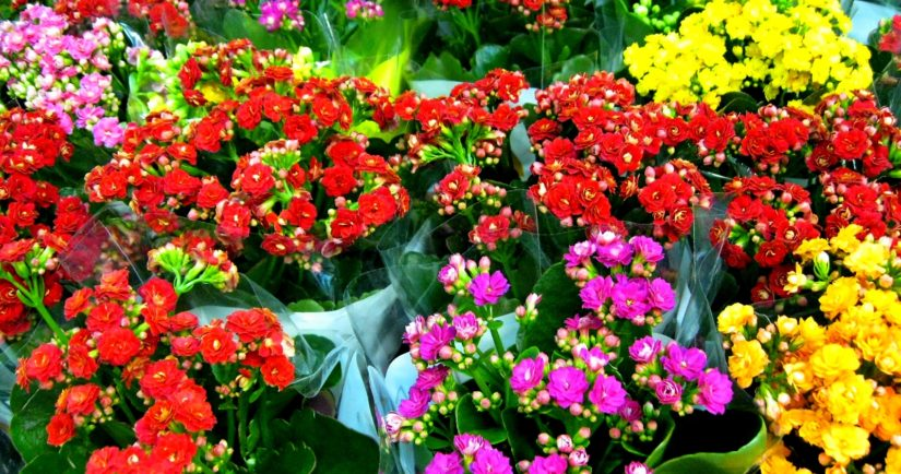 Kalanchoe blossfeldiana (Flaming Katy, Florist Kalanchoe) red pink yellow purple flowers background pattern. Colorful small flowers of Kalanchoe close-up. Beautiful bright succulent plant red flowers