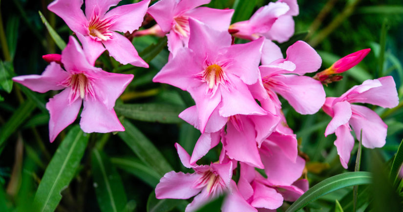 The toxic garden plant nerium Oleander apocynaceae