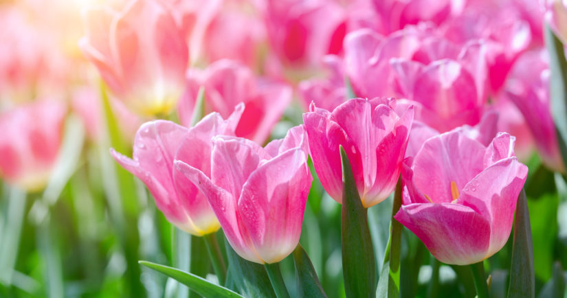 Tulip flower. Beautiful tulips flower in tulip field at winter or spring day. Colorful tulips flower in the garden. Beautiful tulips flower for postcard beauty design. Tulip garden. tulip wallpaper. tulip design.