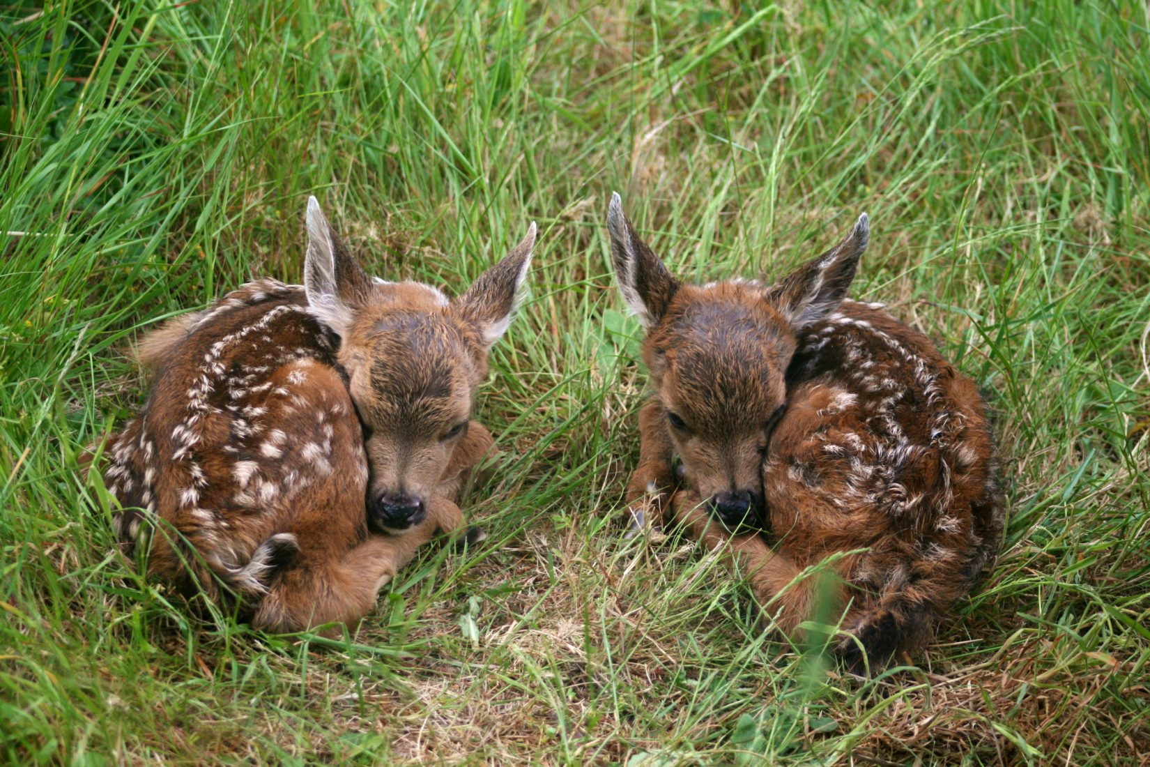 Two deer fawns laying in grass