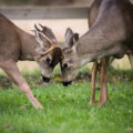 Two deer touching heads