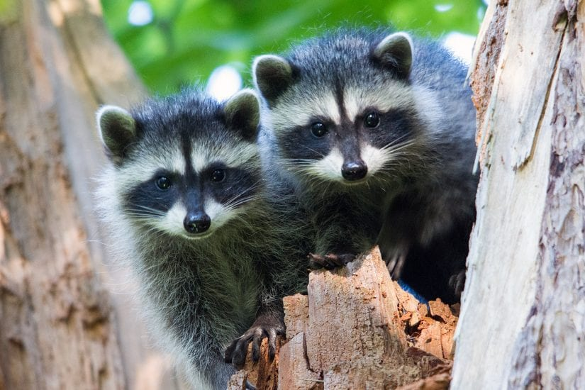 Two raccoons in tree photo by Bruce Tuck