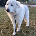 Great Pyrenees white dog, first adopted in 2019