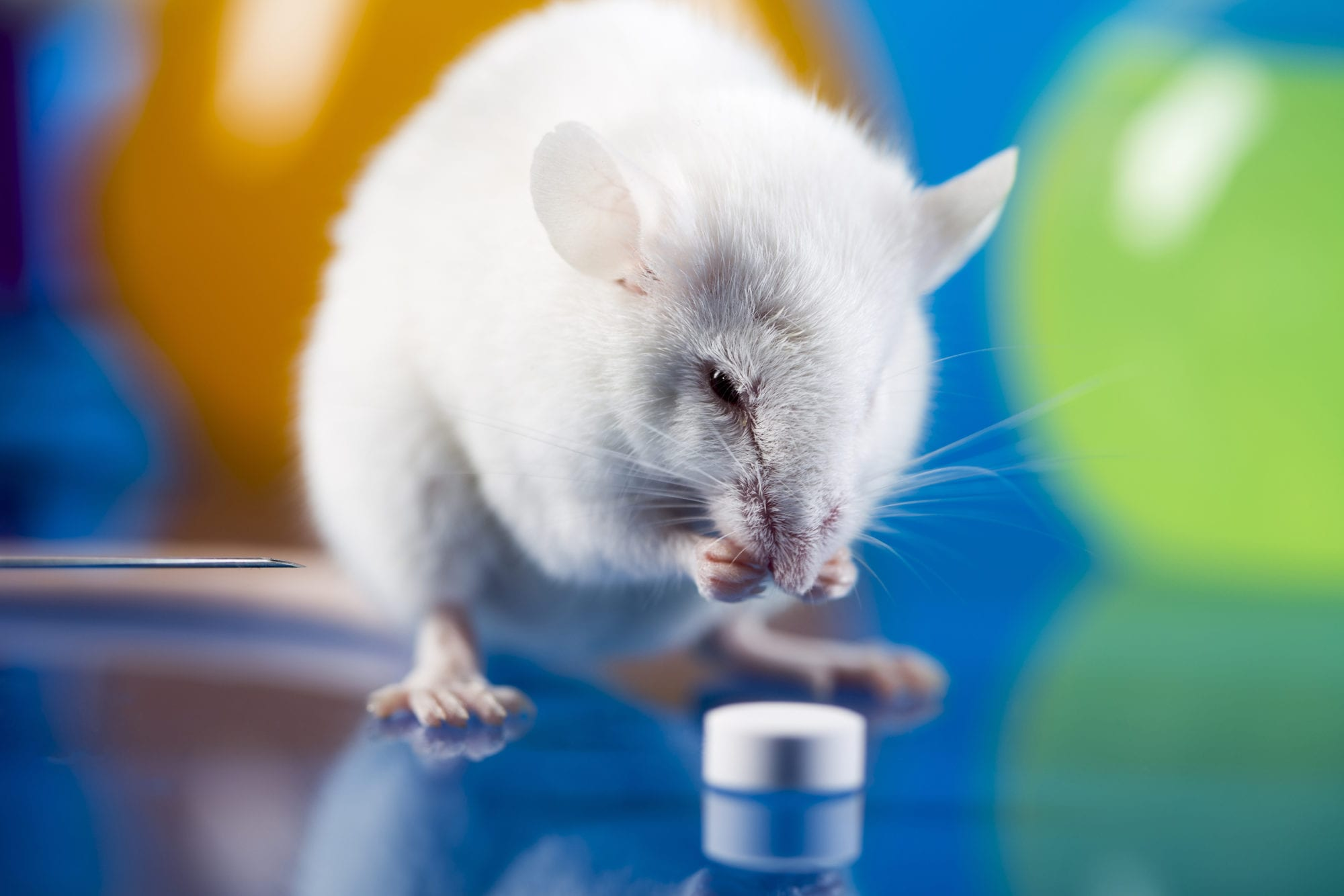 White lab rat with pill
